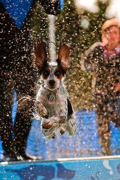 Cocker Spaniel Splash!