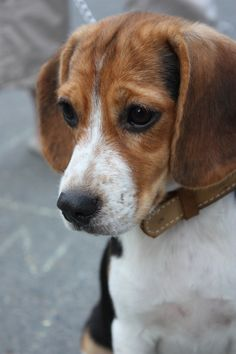 Thoughtful beagle is being thoughtful