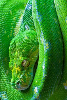 Green Tree Python. Had an opportunity to get one of these today and couldn't accept it because I'm only home for the summer and my dorms don't allow pets... Especially six foot long snakes.