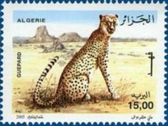 Northwest African Cheetah (Acinonyx jubatus hecki)