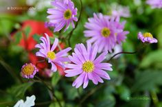 Hazánkban is közismert, de talán nem olyannyira elterjedt egynyári dísznövény, mint például a petúnia, a begónia, vagy éppen a nebáncsvirág.