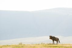 Lonesome wildebeest in the Ngorongoro crater