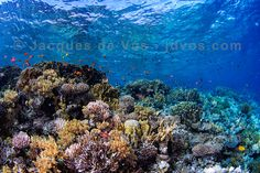 A colorful and vibrant underwater seascape of a coral reef in the Red Sea.