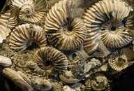 In nature - Ammonite fossils Spirals In Nature, Fish Fossil, Parts Of The Earth, Fractal Design, Prehistory, Ancient Artifacts, Ammonite, Sacred Geometry, Archaeology