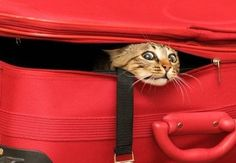 If you're planning on traveling with your pooch or kitty, it's important to find a pet-friendly hotel. Here are some popular chains that allow pets. Cute Cats, Funny Cats, Funny Animals, Cute Animals, Neko, Crazy Cat Lady, Crazy Cats, Hotel Pet, Image Chat