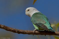 Grey-headed Lovebird (Agapornis canus) An adult male on a branch