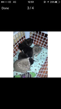 4 adorable kittens will be ready for there forever homes at 9 weeks good with dogs and kids eac Dogs And Kids, Adorable Kittens, Homes, Pets, Animals, Houses, Animales, Animaux, Cute Kittens