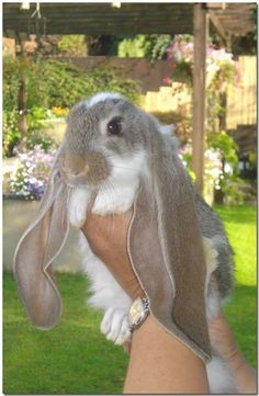 English Lop baby. just...just look at that face <3