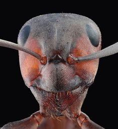 Wood Ant ~ photo by Steve Mackay Macro Fotografie, Fotografia Macro, Wood Ants, Photo Macro, Microscopic Photography, Micro Photography, Beautiful Bugs, Beautiful Butterflies, Cool Bugs