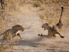 A male cheetah and a female leopard fighting over a meal.