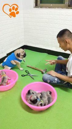 dog training,teach your dog,dog learning,dog tips,dog hacks Funny Animal Memes, Funny Animal Videos, Cute Funny Animals, Cute Baby Animals, Funny Dogs, Animals And Pets, Cute Puppies, Cute Dogs, Chien Golden Retriever