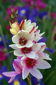Ixia Flower