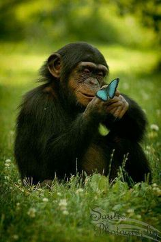 Blauwe aap - blue monkey - - A baby Chimp is checking out a blue butterfly. Nature Animals, Animals And Pets, Baby Animals, Funny Animals, Cute Animals, Wild Animals, Monkeys Animals, Strange Animals, Primates