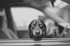 Doxie in car
