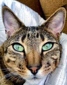 F4 Savannah Cat - Green eyes, Ear Tufts