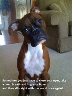 boxer head tilt Dogs 6 Problems Only Boxer Owners Will Understand Boxer Dog Puppy, Boxer Rescue, White Boxer Puppies, Boxer Dogs Facts, Dog Facts, Funny Boxer Dogs, Boxer Dog Quotes, Boxer And Baby, Boxer Love