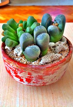 Lithops in a clay pot
