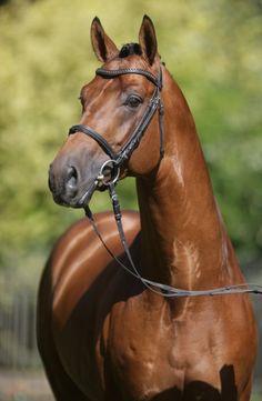 Westphalian stallion Expansion