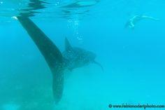 ...Oltre alle spiagge tropicali nelle Filippine si può provare un'esperienza unica: nuotare con gli squali balena! Scoprite dove...