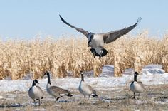 6 Tips for Bagging Late-Season Canada Geese -- Field & Stream by Bob Jeremy