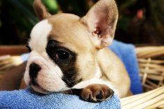 Fawn female French bulldog puppy