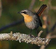 Cape Robin Chat (Cossypha caffra) Robin Bird, Bird Species, Bird Houses, Beautiful Creatures, Pet Birds, South Africa, Animals, Robins, Hummingbirds