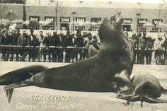 Sea Lions-- Robert Moses Zoo 1934-1984