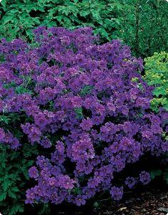 Hardy geranium