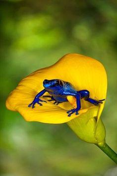 Blue frog... by slamdra