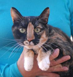 Inca, an enchanting and mellow lady, debuts for adoption today at Nevada SPCA (www.nevadaspca.org). She is a gorgeous shorthair with tortoiseshell coloring and white mitts, about 7 years of age and spayed, and compatible with cats and dogs. Inca likes lounging in cat tree furniture or playing with mice-shaped toys. She needed us due to her previous owners' financial hardship.