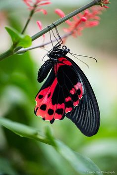 Black Photograph - Scarlet Mormon Butterfly by Christy Cox Butterfly Kisses, Butterfly Flowers, Borboleta Tattoo, Colorful Moths, Most Beautiful Butterfly, Gossamer Wings, Moth Caterpillar, Butterfly Pictures, Butterflies Flying