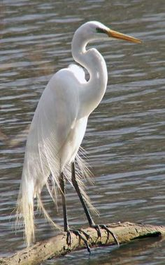 Saw both snowy egrets and lesser egrets by the lake yesterday. http://wanamassa.us/birds2006/images/PICT0987Egret.jpg