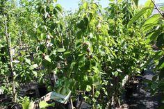 Perenbomen met vruch
