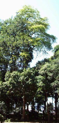 Chichá-fedorento (385×800)