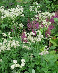 I've become enamored for the second time with Astrantia major. Over the years I've included it in more than one planting plan always hoping it will be deer resistant…it's n… Shade Garden, Garden Plants, Marian Garden, Astrantia Major, Country Cottage Garden, Planting Plan, Astilbe, Garden Borders, Bright Green