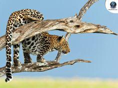 Leopard-on-branch-Wallpaper