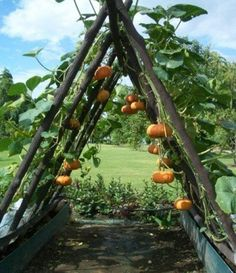 Trellis for pumpkins Consider using the existing stakes from the Podocarpus bush. Could work with the metal grids for additional support.