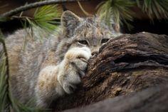 10-canadian-lynx-paws-cute