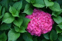 Cuidados de la hortensia - ¡LA GUÍA MÁS COMPLETA! Types Of Flowers, Fresh Flowers, Hydrangea Flower Pictures, Hydrangea Not Blooming, Begonia, Green Plants, Pictures Images, Animals And Pets, Seeds