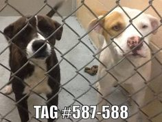 ★ CRITICAL COULD BE PTS ON 11/09 ★  Shelby, NC►URGENT HIGH KILL GAS CHAMBER SHELTER◄  ► GASSES 3 x A WEEK!◄ Named *NIA* #587 FEMALE BRINDLE/ Named *NOEL* #588 MALE WHITE/TAN***Euth/Release date 11/09/13 ***. Contact info: Cleveland County Animal Control 704-481-9884 ext: 4: https://www.facebook.com/photo.php?fbid=599751386726707&set=a.596029213765591.1073742083.285283128173536&type=1&ref=nf