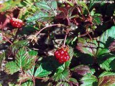 Rubus arcticus - åkerbär