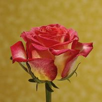 Roses: Bicolor Red & Yellow Mixed.***    VARIETY:( Utopia)** Number of Petals:( 35-45)**  Vase Life: (14 )Days