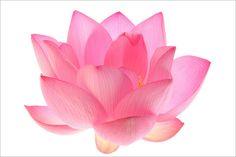 Lotus Flower Petals Macro - IMG_4676 by Bahman Farzad, via Flickr