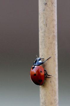 -ladybug-