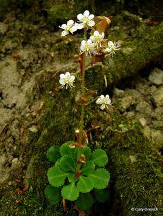 Keilblättriger Steinbrech, Saxifrage à feuilles en coin (Saxifraga cuneifolia) (2011-04-17 -05)
