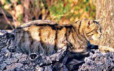 """Gatos monteses en la """"provincia"""" de Navarra"""