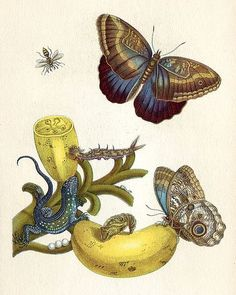 """""""Born on this day naturalist & artist Maria Sibylla Merian. Here, Teucer Owl Butterfly & Rainbow Whiptail Lizard among the bananas, from her book The Metamorphosis of the Insects of Suriname,"""