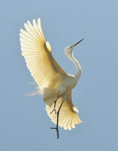 Stretching Great #Egret