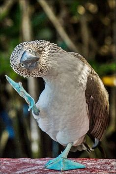 """Elvis the Blue footed Booby sings """"Buh Buh Buh Buh Blue Suede Shoes..."""""""