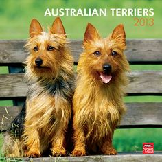 "Australian Terriers Wall Calendar: This popular little terrier is fondly referred to as the ""Aussie."" A small, hardy, and courageous worker, the Australian Terrier originated on the island of Tasmania.  $14.99  http://calendars.com/Australian-Terriers/Australian-Terriers-2013-Wall-Calendar/prod201300004563/?categoryId=cat10097=cat10097#"